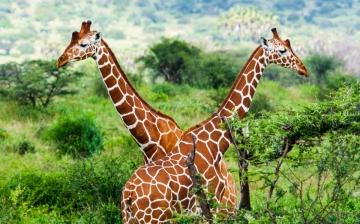 2 Giraffen im Tsavo Ost Nationalpark in Kenia