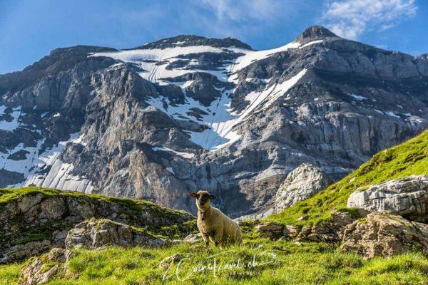 Schaf am Gletschersee