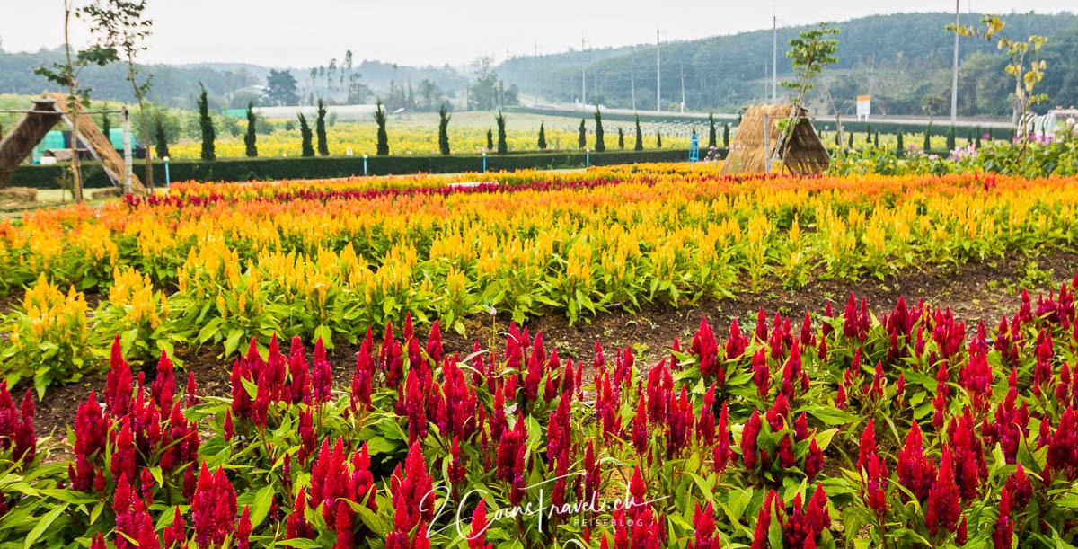 แสนคำรัก Sonnenblumenfarm