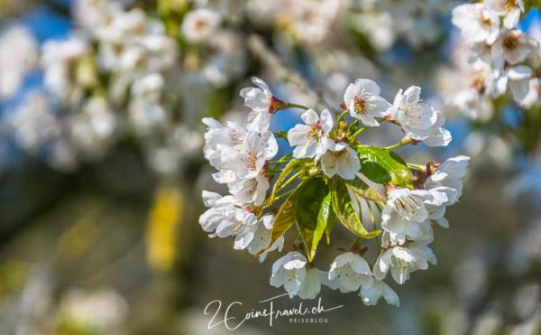 Kirschblüten Fricktaler Chriesiwäg