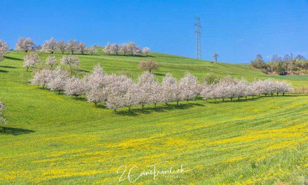 Kirschbäume Fricktal
