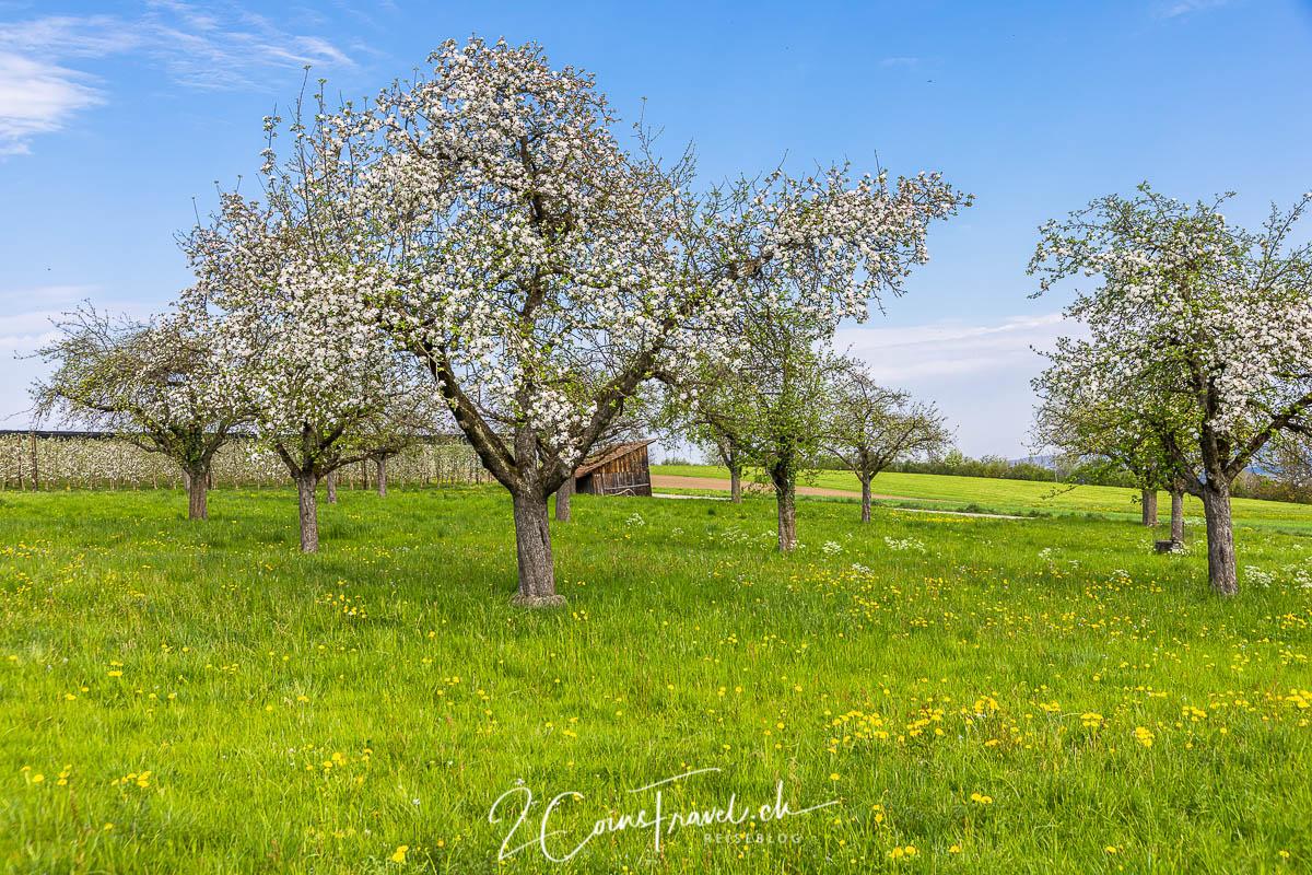 Blühende Bäume Salenstein