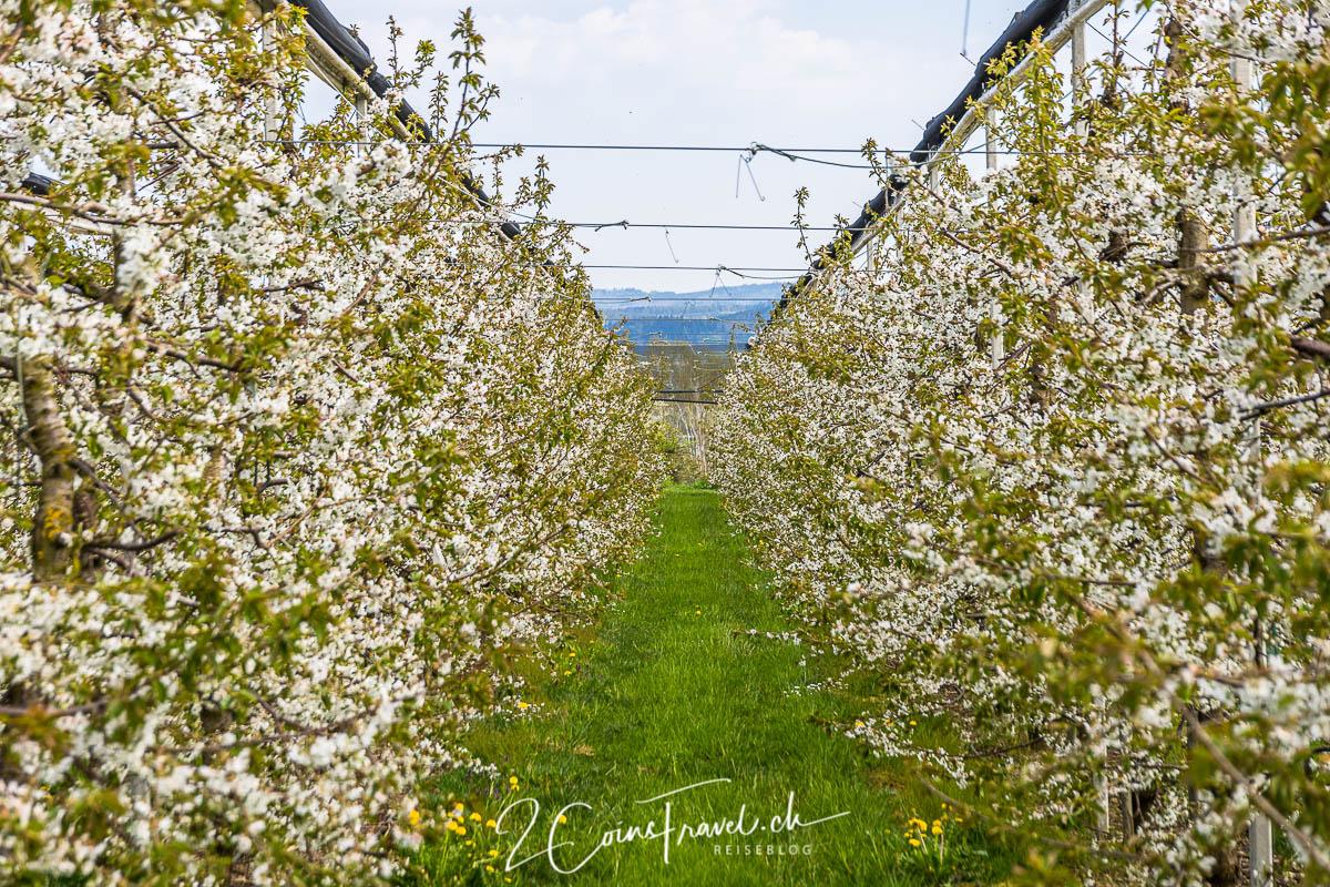 Apfelplantage Salenstein