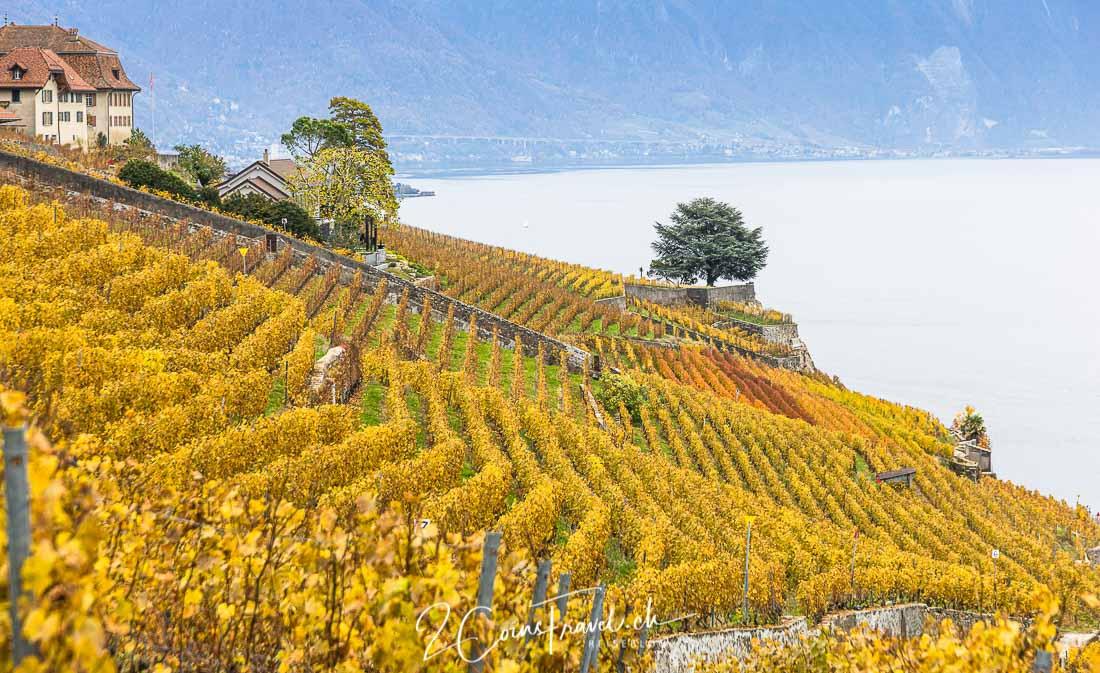 Weinfelder Lavaux