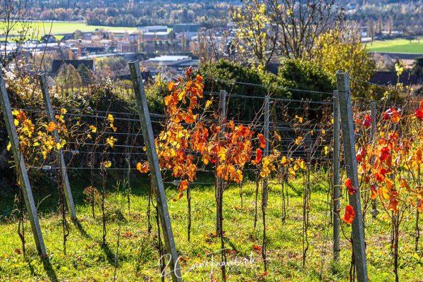 Weinreben Herbst